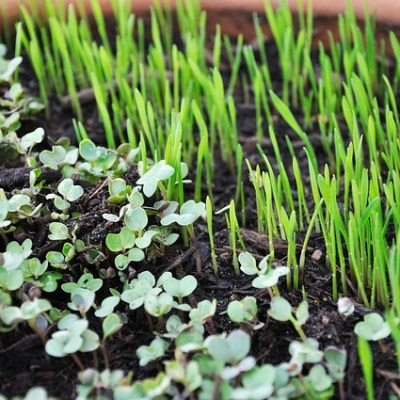 Microgreens are Packed with Nutrients