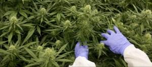 cannabis grower wearing gloves