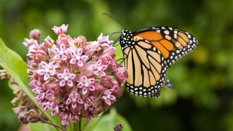 Milkweed for the Monarch Butterflies