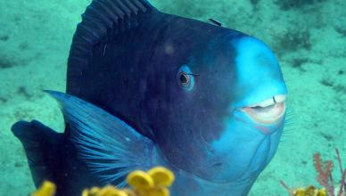 Conheça a Beleza do Raro Peixe Papagaio-Azul