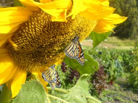 Monarch and sunflowers, Big Sur, California