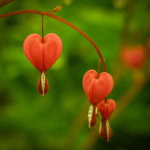 bleeding hearts (plant)