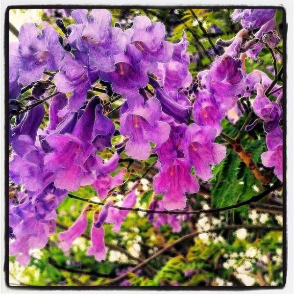 Early Jacaranda Tree Flowers Los Angeles