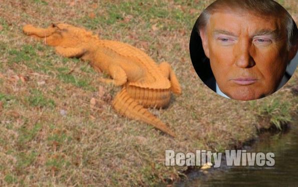 Its A Trumpagator Bizarre Bright Orange Alligator