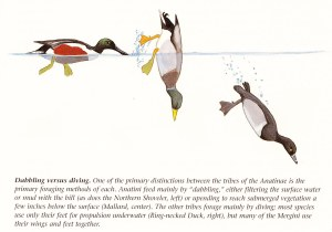 The Mystery of the Diving EmeraldHooded Quackaneer   Periodic Wanderings