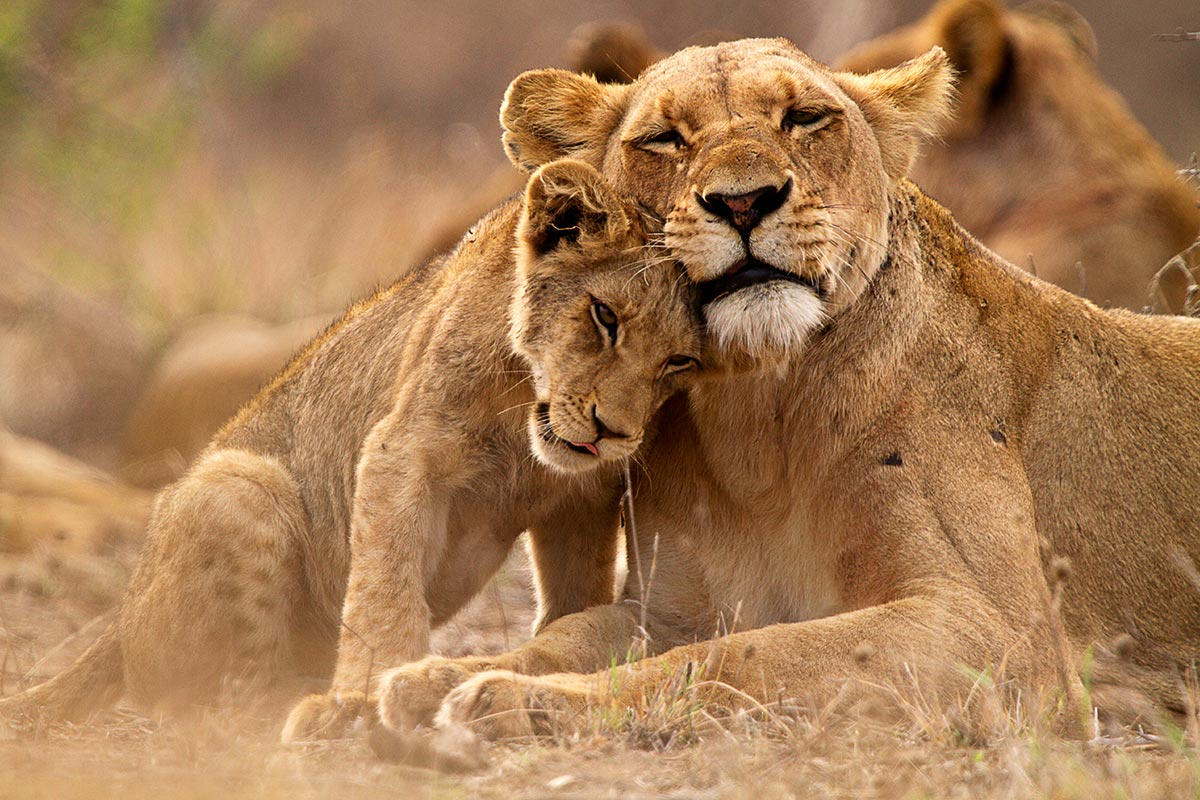 Lions in Queen Elizabeth national Park - Where & when to go see them