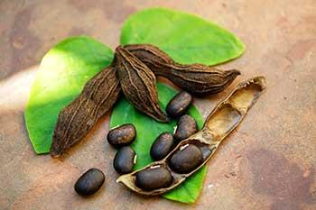 Mucuna Pruriens Ingredient