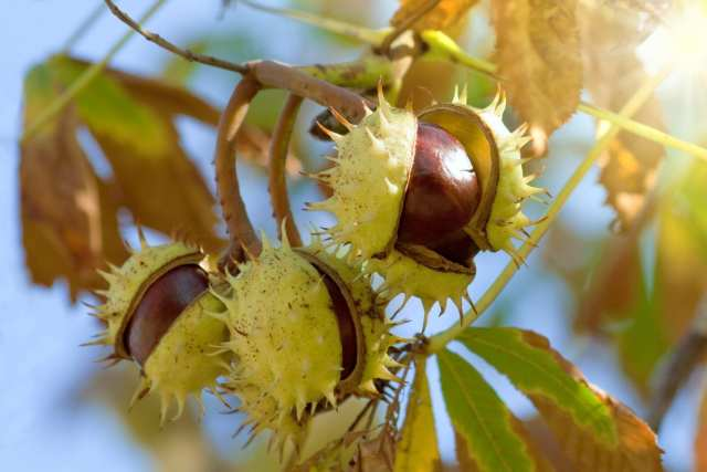 chestnuts for spiders