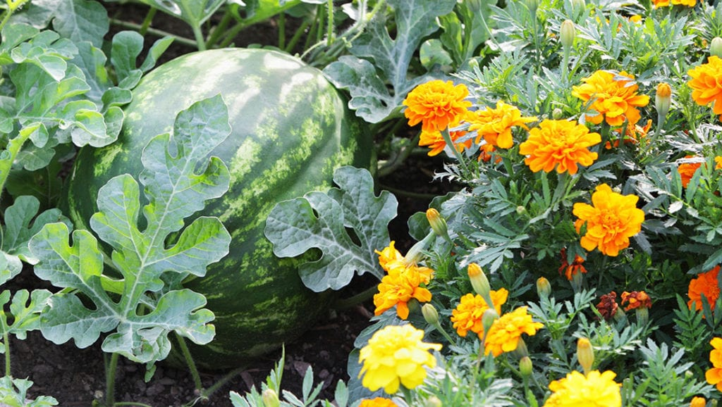 12 Best Herbs and Flowers for Companion Planting With Vegetables ...