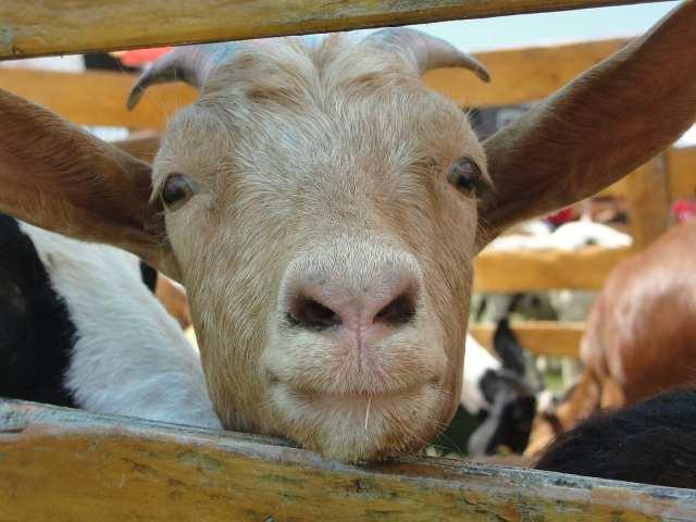 goat milk benefits
