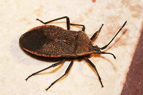 Permalink to: Pest Profiles: The Squash Bug, Anasa tristis