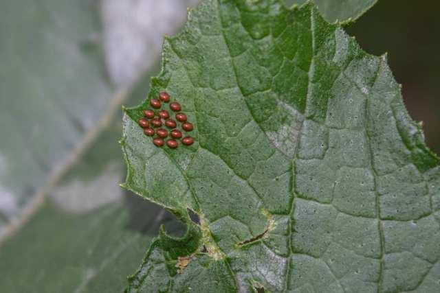 Pest Profiles: The Squash Bug, Anasa tristis | Real Self-Sufficiency