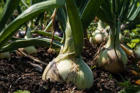 Permalink to: Plant Problems – Onion White Rot
