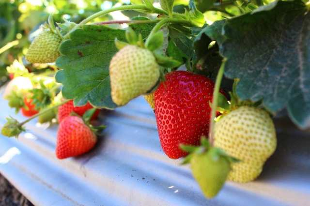 growing strawberries from scraps