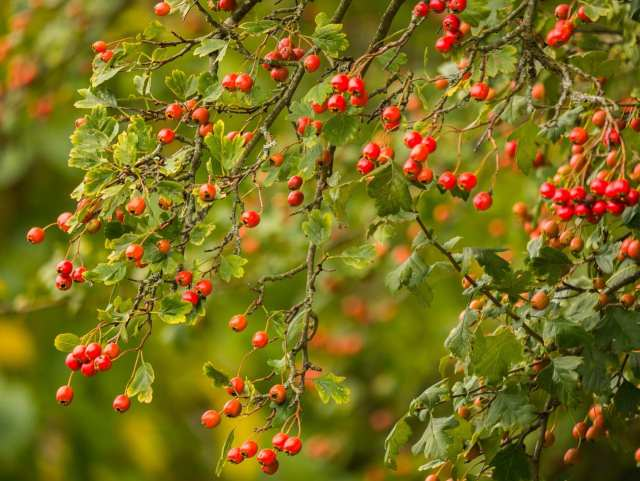 How to Make Hawthorn Tincture With or Without Alcohol | Real