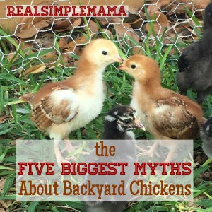 The Five Biggest Myths About Backyard Chickens - Real Simple Mama