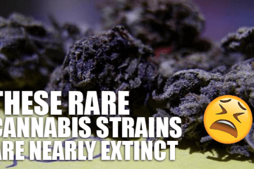 THESE RARE CANNABIS STRAINS ARE NEARLY EXTINCT | Rare Cannabis
