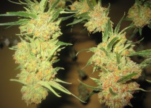 Columbian Red | Rare Cannabis