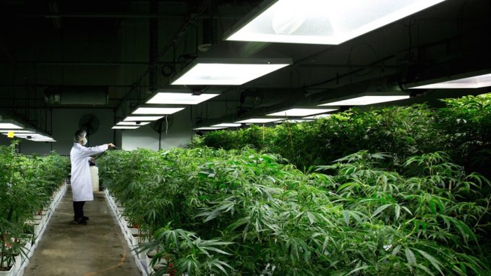 cannabis industry booming