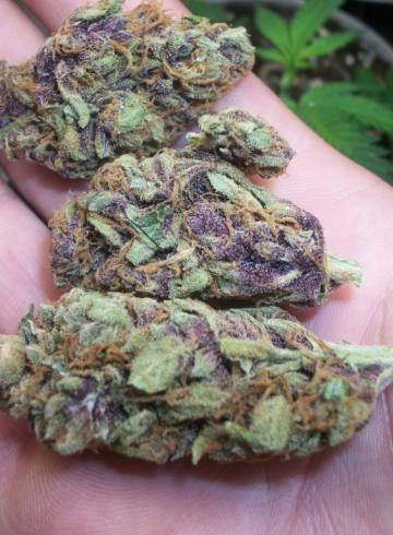 Purple Kush Indica