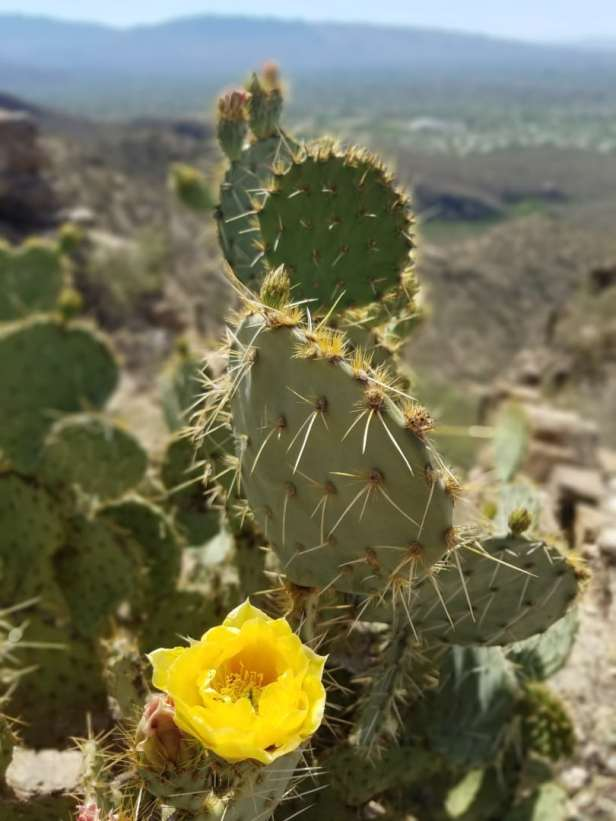Blooming cactus flower at Sabino Canyon - Inheriting your family home
