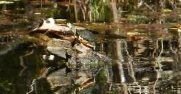 turtle reaching