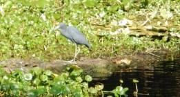 River Blue Heron