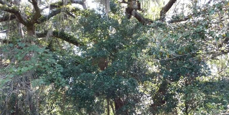 habbard live oak small