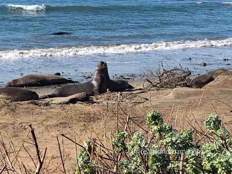 Ano Nuevo Giant Sea Lion