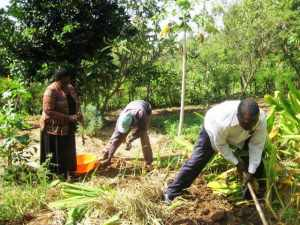 Photo of Staff harvesting Tumeric