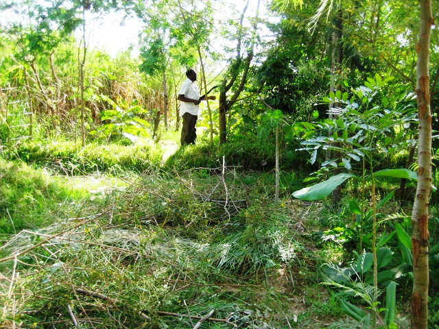 Cutting sesbania for Mulch
