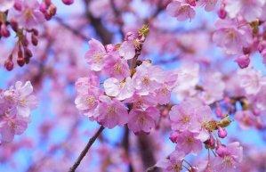 زهرة اليابان المميزة