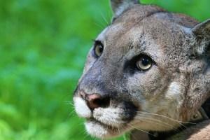 cougar, mountain lion, whyr