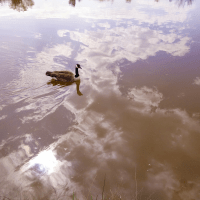 Goose, Swimming in the Clouds