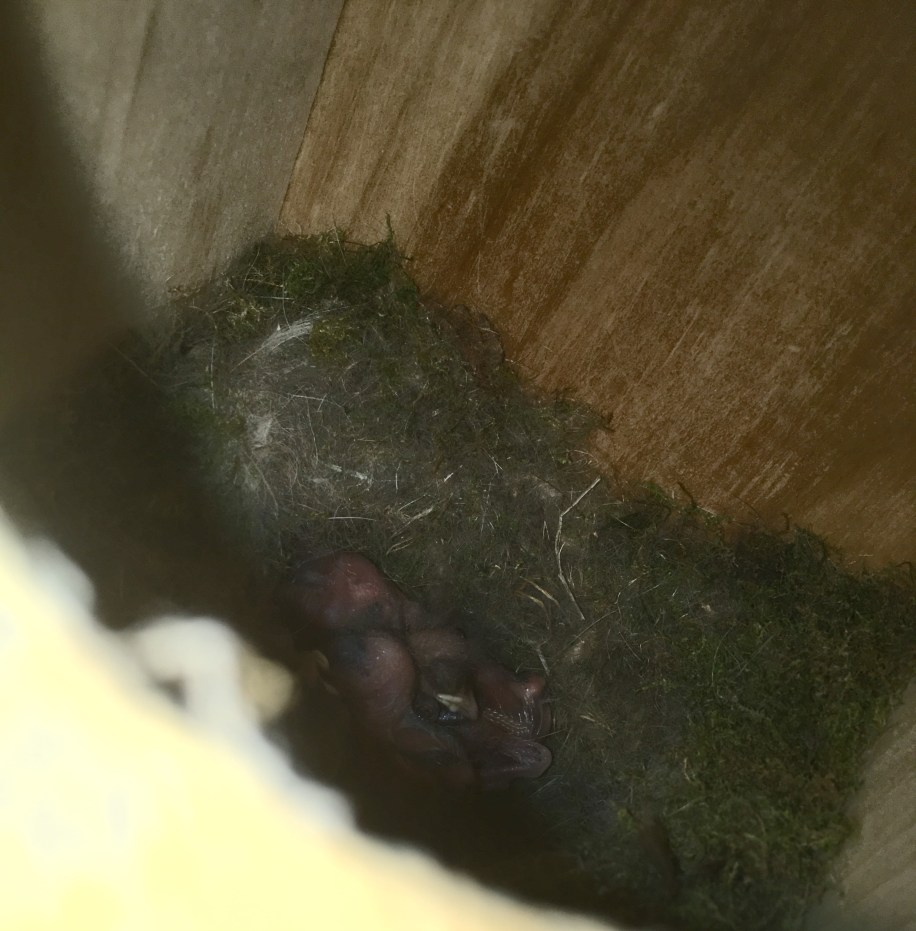 I thought I was seeing eggs, until I increased the exposure. Little naked baby birds!!
