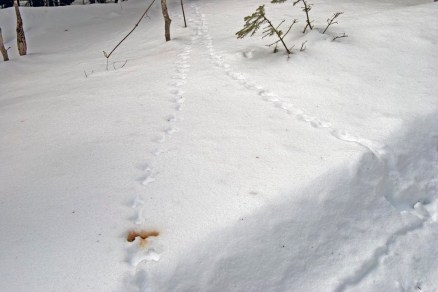 Ruffed Grouse tracks, with scat in lower left.