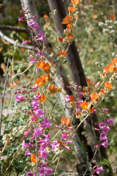 Globemallow and... I don't know what the pink ones are, some kind of penstemon?