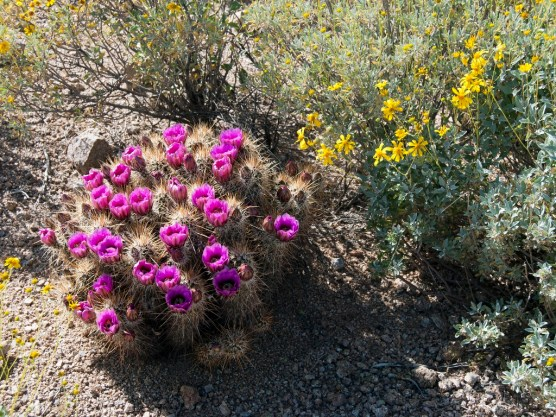 Hedgehog cactus with blooming brittlebush