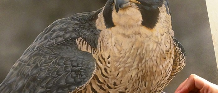 Peek In The Studio – Songbirds & Birds Of Prey