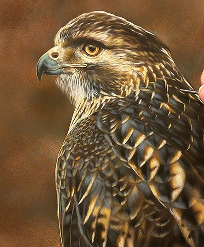 Redtail Hawk - New Watercolor Painting by Rebecca Latham