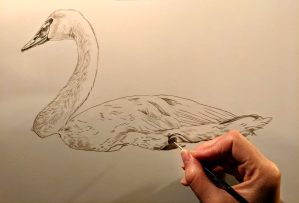 Trumpeter Swan Work in Progress Sepia Watercolor, Rebecca Latham
