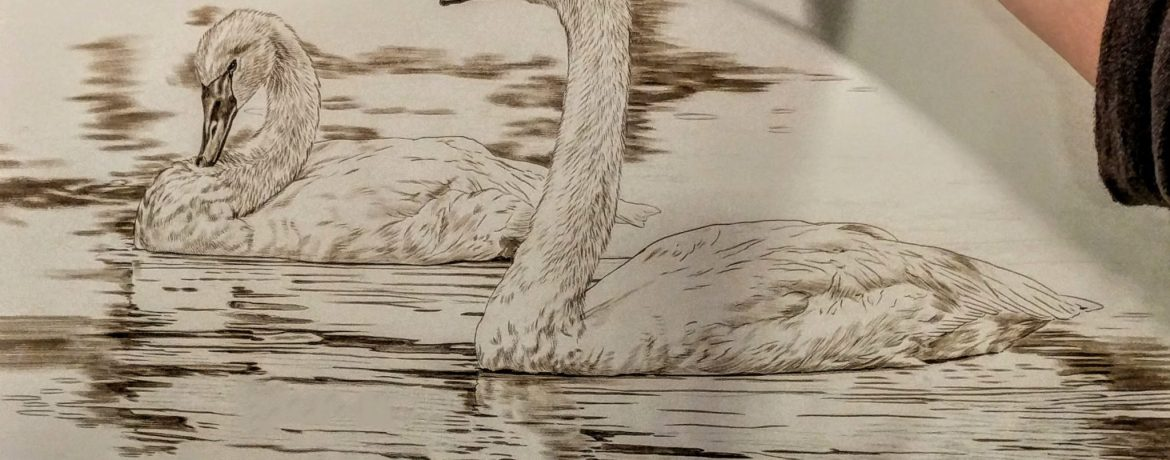 Trumpeter Swan Pair Work in Progress Sepia Watercolor, Rebecca Latham