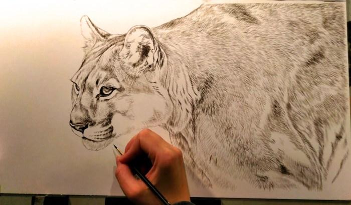 Mountain Lion, 10x20, Work in Progress Sepia Watercolor, Rebecca Latham
