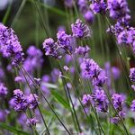 Three Beautiful Lavenders
