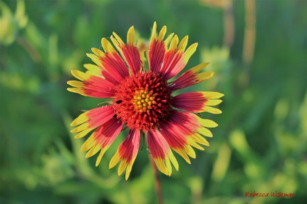 Red & Yellow Wildflower