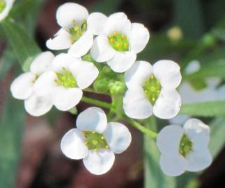 small-white-flowers