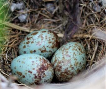 bird-eggs-5-15-2016-2