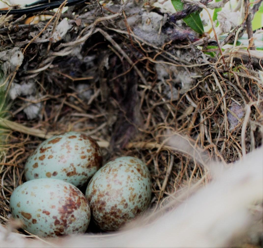 mockingbird-eggs-1