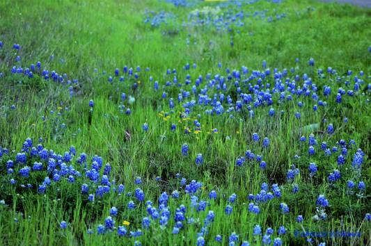 Bluebonnet Field 3