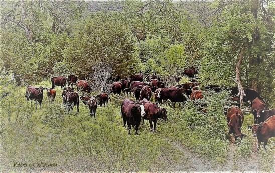 Edited Cattle